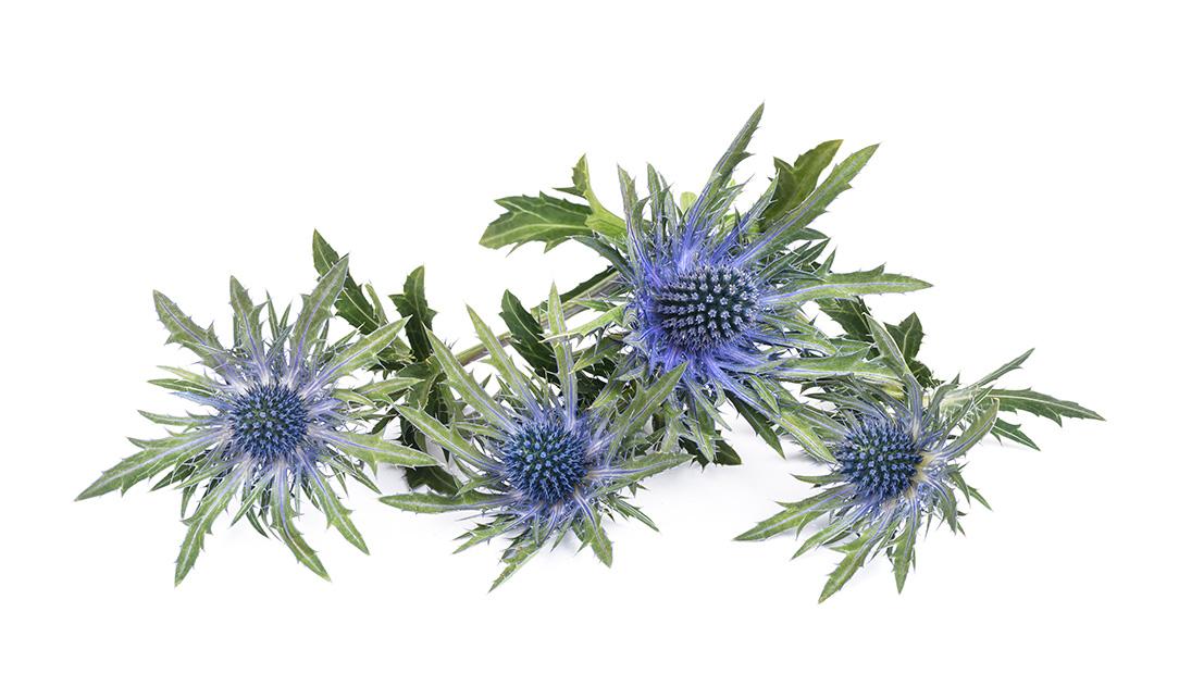 Blue Thistle Utah Wholesale Flowers Wright Flower Company