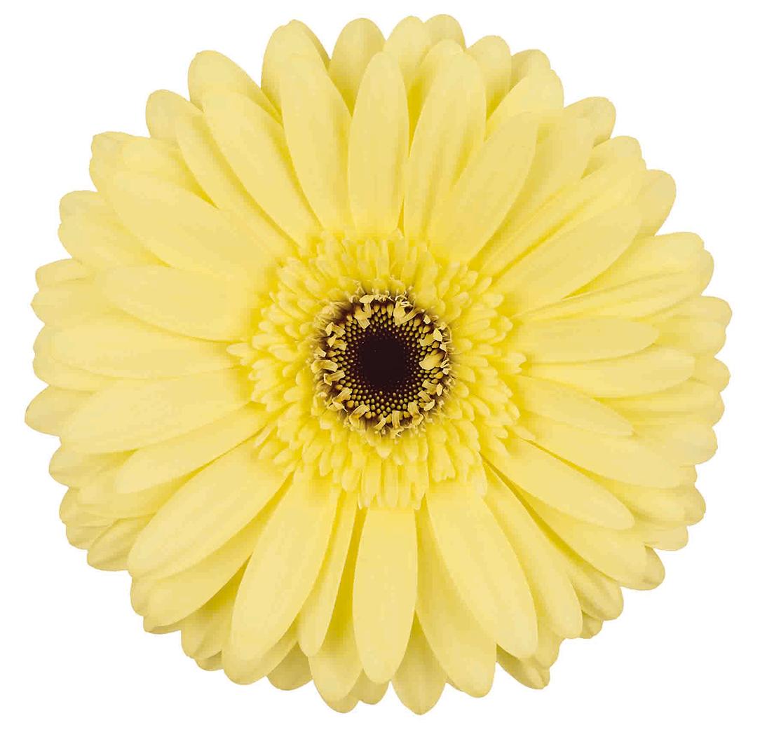 Gerbera Daisies Utah Wholesale Flowers Wright Flower Company