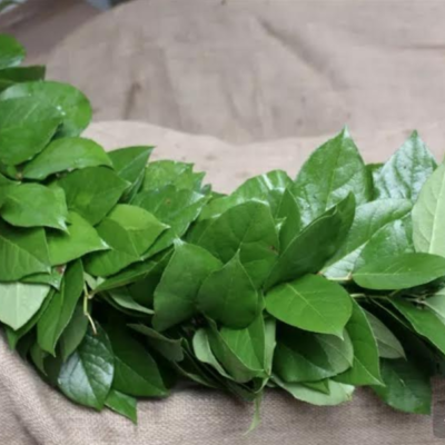 Salal (Lemon Leaf) $7.95 per foot