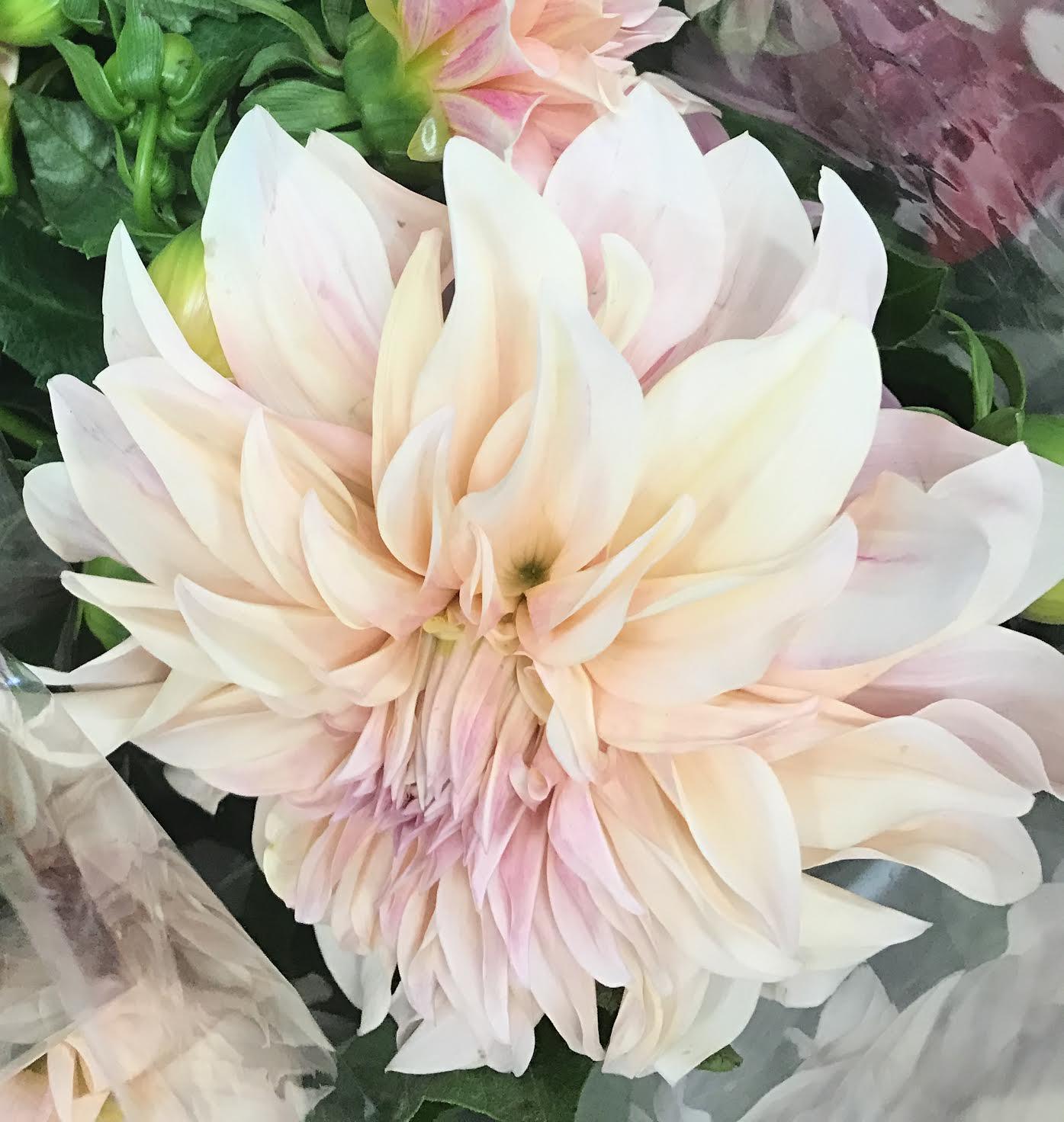 Dahlias utah wholesale flowers wright flower company dahlias izmirmasajfo
